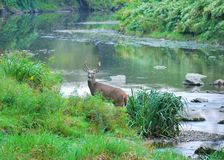 Whitetail Deer Buck. Standing along a stream bank Royalty Free Stock Photography