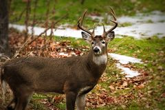 Whitetail deer odocoileus virginianus white-tailed buck standing broadside but facing camera. Beautiful whitetail deer odocoileus virginianus white-tailed buck Royalty Free Stock Images