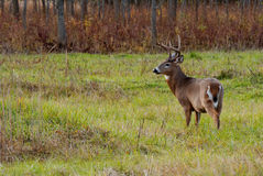Whitetail Deer Buck. Standing in a field Royalty Free Stock Photo