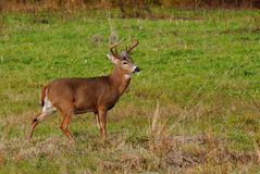Whitetail Deer Buck. Standing in a field Stock Photo
