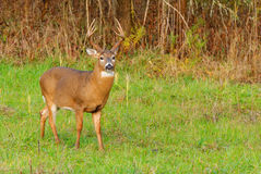 Whitetail Deer Buck. Standing in a field Royalty Free Stock Photos