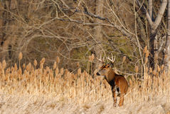 Whitetail Deer Buck. Standing in a field Stock Photography