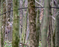 Whitetail Deer Buck. Standing in a field Stock Image