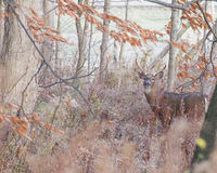 Whitetail Deer Buck. Standing in a field Royalty Free Stock Photography