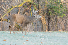 Whitetail Deer Buck. Standing in a field Royalty Free Stock Image