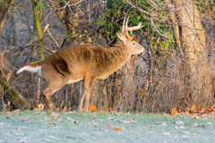Whitetail Deer Buck. Standing in a field Stock Photos