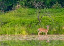Whitetail Deer Buck. Standing in a pond with summer velvet antlers Stock Photography