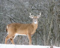 Whitetail Deer Buck. Standing in the snow Royalty Free Stock Image