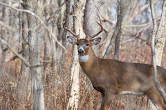 Whitetail Deer Buck. Standing in a thicket Royalty Free Stock Photo