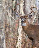 Whitetail Deer Buck. Standing in a thicket Royalty Free Stock Photography