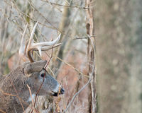 Whitetail Deer Buck. Standing in a thicket Stock Photos