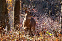 Whitetail Deer Buck. Standing in a woods Stock Photography