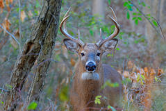 Whitetail Deer Buck. Standing in a woods Stock Images