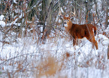 Whitetail Deer Buck. Standing in a woods Stock Image