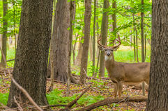 Whitetail Deer Buck. Standing in a woods Stock Photo