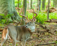 Whitetail Deer Buck. Standing in a woods Royalty Free Stock Images