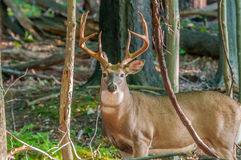 Whitetail Deer Buck Royalty Free Stock Photo