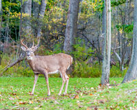 Whitetail Deer Buck. Standing in a woods Royalty Free Stock Photos