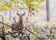 Whitetail Deer Buck Stock Image