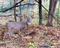 Whitetail Deer Buck. Standing in a woods Royalty Free Stock Image