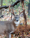 Whitetail Deer Buck. Standing in a woods Royalty Free Stock Photography