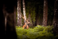 Whitetail Deer Buck standing in a woods Royalty Free Stock Images