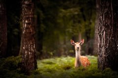 Whitetail Deer Buck standing in a woods Royalty Free Stock Photos