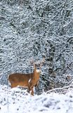 Whitetail Deer Buck Against Backdrop of Winter Snow royalty free stock image
