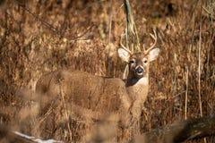 Whitetail deer buck in tall grass at sunset. A whitetail deer buck in tall grass at sunset stock photo