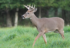 Whitetail Deer Buck Trotting in a Field Royalty Free Stock Photo