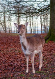 Whitetail deer buck under a tree Royalty Free Stock Photos
