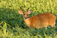 Whitetail Deer Buck with Velvet Antlers. A whitetail deer buck, sporting velvet antlers, feeds in a bean field during evening light royalty free stock photos