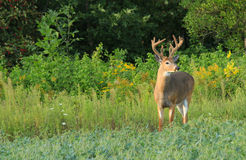 Whitetail Deer Buck with Velvet Antlers. A whitetail deer buck with velvet antlers stands on alert in a field of beans stock images