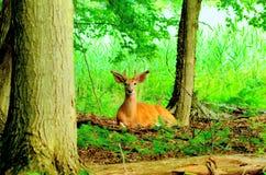 Whitetail Deer Buck In Velvet Royalty Free Stock Photography