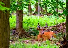 Whitetail Deer Buck In Velvet Stock Photo