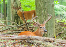 Whitetail Deer Buck In Velvet. Bedded down in the woods Stock Photos
