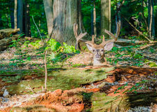 Whitetail Deer Buck In Velvet. Bedded down in the woods Royalty Free Stock Photo
