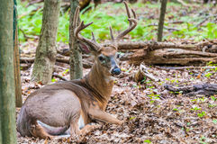 Whitetail Deer Buck In Velvet. Bedded down in the woods Royalty Free Stock Photography