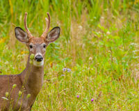 Whitetail Deer Buck In Velvet. Standing in the field Royalty Free Stock Images