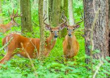 Whitetail Deer Buck In Velvet. Standing in the woods Stock Image