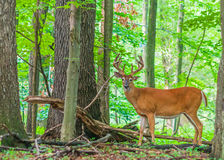 Whitetail Deer Buck In Velvet. Standing in the woods Royalty Free Stock Image
