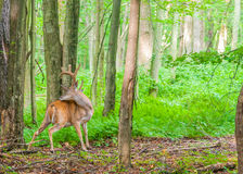 Whitetail Deer Buck In Velvet. Standing in the woods Stock Photo