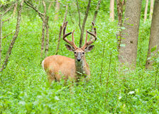 Whitetail Deer Buck In Velvet Royalty Free Stock Photography