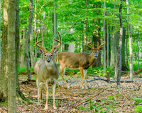 Whitetail Deer Buck In Velvet. Standing in the woods Royalty Free Stock Photography