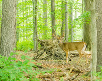 Whitetail Deer Buck In Velvet. Standing in the woods Stock Photography