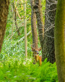 Whitetail Deer Buck In Velvet. Standing in the woods Royalty Free Stock Images
