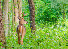 Whitetail Deer Buck In Velvet. Standing in the woods Royalty Free Stock Photos