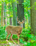 Whitetail Deer Buck In Velvet. Standing in the woods Stock Photos