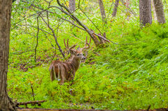 Whitetail Deer Buck In Velvet. Standing in the woods Stock Images