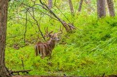 Whitetail Deer Buck In Velvet Stock Images